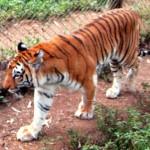 Go For a Lion-Tiger Safari